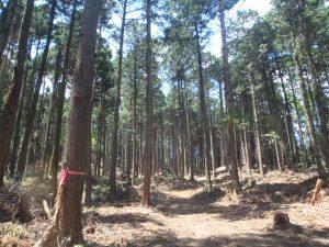 間伐後の山林_つくばね森林組合