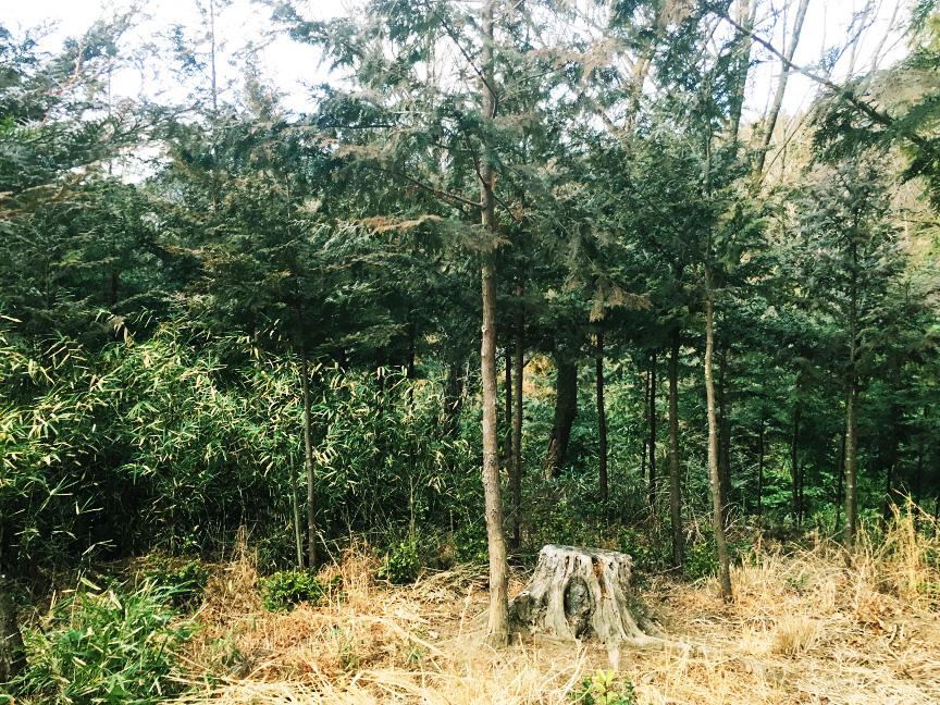 枝打ち後のヒノキ